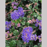 Shrubs ~ Ceanothus 'Centennial', California Lilac ~ Dancing Oaks Nursery and Gardens