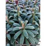 Perennials ~ Euphorbia characias wulfenii 'Shorty' PP19808, Spurge ~ Dancing Oaks Nursery and Gardens ~ Retail Nursery ~ Mail Order Nursery