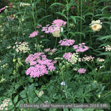 Perennials ~ Pimpinella major 'Rosea' ~ Dancing Oaks Nursery and Gardens ~ Retail Nursery ~ Mail Order Nursery