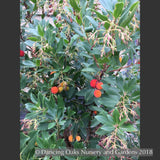 Shrubs ~ Arbutus unedo 'Oktoberfest', Strawberry Tree ~ Dancing Oaks Nursery and Gardens ~ Retail Nursery ~ Mail Order Nursery