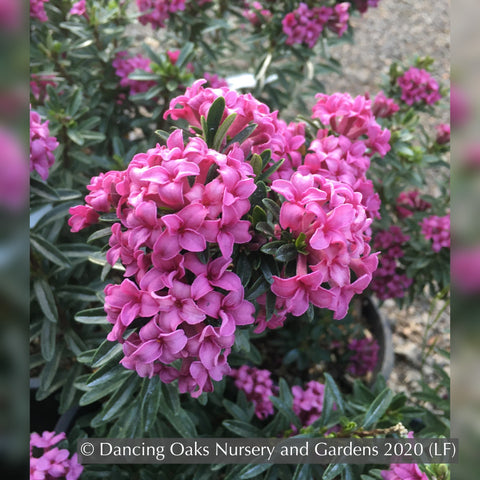Shrubs ~ Daphne x rollsdorfii 'Wilhelm Schacht' ~ Dancing Oaks Nursery and Gardens ~ Retail Nursery ~ Mail Order Nursery