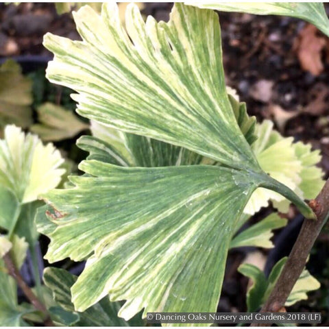 Trees ~ Ginkgo biloba 'Crispin's Jaded Jester', Variegated Ginkgo ~ Dancing Oaks Nursery and Gardens ~ Retail Nursery ~ Mail Order Nursery