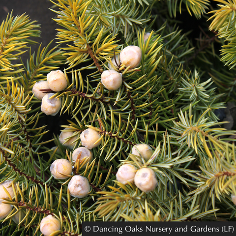 Shrubs ~ Juniperus conferta 'All Gold', Golden Shore Juniper ~ Dancing Oaks Nursery and Gardens ~ Retail Nursery ~ Mail Order Nursery