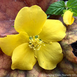 Shrubs ~ Kerria japonica 'Golden Guinea', Gypsy Rose ~ Dancing Oaks Nursery and Gardens ~ Retail Nursery ~ Mail Order Nursery