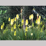 Perennials ~ Kniphofia 'Majestic', Torch Lily ~ Dancing Oaks Nursery and Gardens ~ Retail Nursery ~ Mail Order Nursery