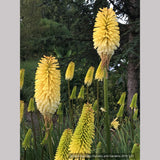Perennials ~ Kniphofia 'Majesty', Torch Lily ~ Dancing Oaks Nursery and Gardens