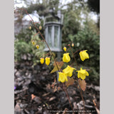 Perennials ~ Epimedium x 'Lemon Zest', Barrenwort ~ Dancing Oaks Nursery and Gardens ~ Retail Nursery ~ Mail Order Nursery