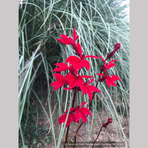 Perennials ~ Lobelia speciosa 'Vulcan Red', Cardinal Flower ~ Dancing Oaks Nursery and Gardens ~ Retail Nursery ~ Mail Order Nursery
