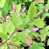 Shrubs ~ Lonicera korolkowii var. 'Floribunda' Blue Velvet™, Blue Velvet Honeysuckle ~ Dancing Oaks Nursery and Gardens ~ Retail Nursery ~ Mail Order Nursery
