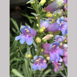 Perennials ~ Penstemon 'Electric Blue', Beard Tongue ~ Dancing Oaks Nursery and Gardens ~ Retail Nursery ~ Mail Order Nursery