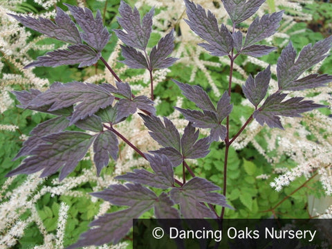 Perennials ~ Actaea 'Black Negligee' (syn. Cimicifuga), Bugbane or Black Snakeroot ~ Dancing Oaks Nursery and Gardens ~ Retail Nursery ~ Mail Order Nursery