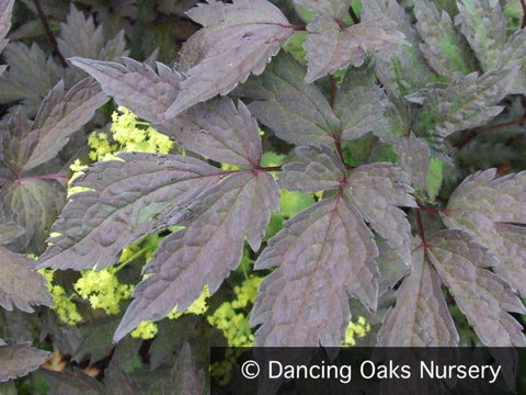 Perennials - Actaea 'Brunette' (syn. Cimicifuga), Bugbane Or Snakeroot