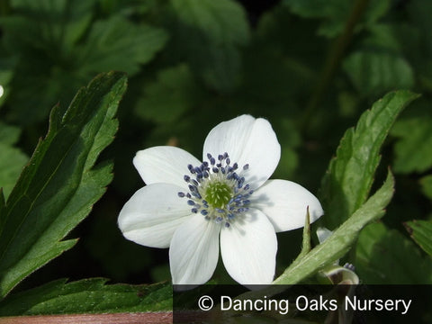 Perennials ~ Anemone rivularis, Himalayan Windflower ~ Dancing Oaks Nursery