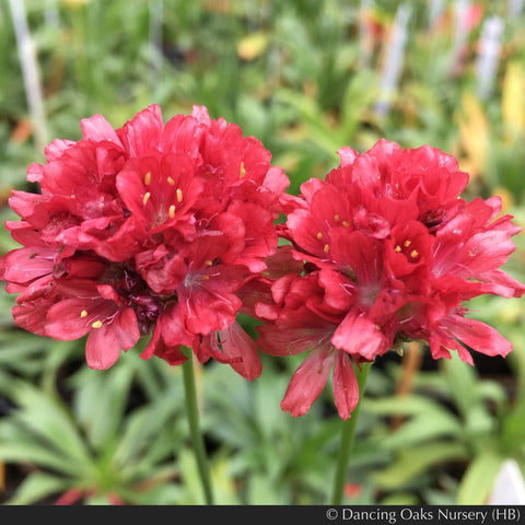 Perennials ~ Armeria pseudarmeria Ballerina Red Series, False Sea Thrift ~ Dancing Oaks Nursery and Gardens ~ Retail Nursery ~ Mail Order Nursery