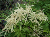 Perennials ~ Aruncus dioicus, Goatsbeard or Bride's Feathers ~ Dancing Oaks Nursery
