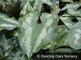 Perennials ~ Asarum splendens, Chinese Ginger ~ Dancing Oaks Nursery
