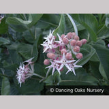 Perennials ~ Asclepias speciosa, Showy Milkweed ~ Dancing Oaks Nursery and Gardens ~ Retail Nursery ~ Mail Order Nursery