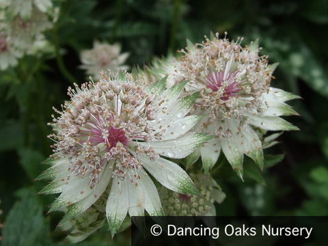 Perennials ~ Astrantia major 'Alba', Masterwort ~ Dancing Oaks Nursery