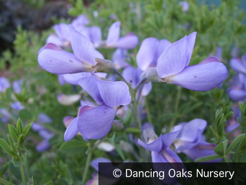 Perennials ~ Baptisia minor 'Blue Pearls', False Indigo ~ Dancing Oaks Nursery