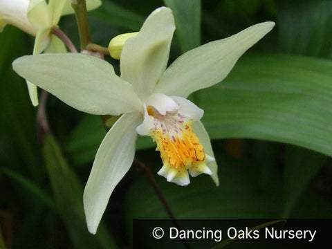 "Perennials ~ Bletilla ochracea ""Chinese Butterfly', Hardy Ground Orchid ~ Dancing Oaks Nursery"