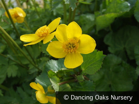 Perennials ~ Caltha palustrus v. himalayensis, Marsh Marigold ~ Dancing Oaks Nursery and Gardens ~ Retail Nursery ~ Mail Order Nursery