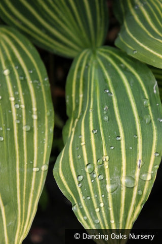 Perennials ~ Convallaria majalis 'Albostriata'  Striped Lily of the Valley ~ Dancing Oaks Nursery