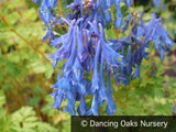 Perennials ~ Corydalis elata, Blue False Bleeding Heart ~ Dancing Oaks Nursery