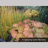 Perennials ~ Darmera peltata, Indian Rhubarb ~ Dancing Oaks Nursery and Gardens ~ Retail Nursery ~ Mail Order Nursery