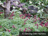 Perennials ~ Dicentra formosa 'Bacchanal', Bleeding Heart ~ Dancing Oaks Nursery