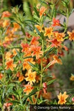 Perennials ~ Diplacus 'Robin' (syn. Mimulus), Monkey Flower ~ Dancing Oaks Nursery and Gardens ~ Retail Nursery ~ Mail Order Nursery