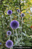 Perennials - Echinops Ritro 'Oxford Blue', Globe Thistle