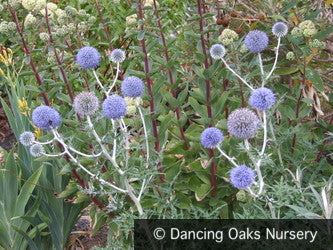 Perennials ~ Echinops ritro ssp ruthenicus, Globe Thistle ~ Dancing Oaks Nursery and Gardens ~ Retail Nursery ~ Mail Order Nursery
