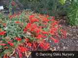 Perennials ~ Epilobium (syn Zauschneria) 'Everett's Choice', California Fuchsia ~ Dancing Oaks Nursery and Gardens ~ Retail Nursery ~ Mail Order Nursery