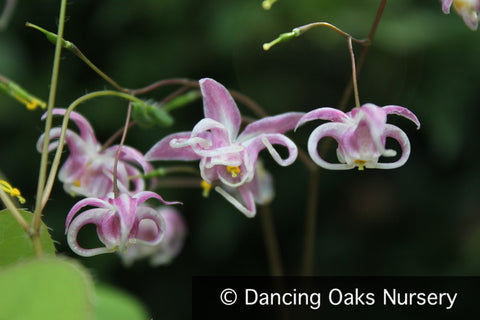 Perennials ~ Epimedium grandiflorum 'Mizuhomaru', Barrenwort ~ Dancing Oaks Nursery and Gardens ~ Retail Nursery ~ Mail Order Nursery