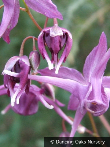 Perennials ~ Epimedium grandiflorum 'Purple Prince' ~ Dancing Oaks Nursery and Gardens ~ Retail Nursery ~ Mail Order Nursery