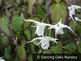 Perennials ~ Epimedium grandiflorum v. higoense 'Bandit', Barrenwort ~ Dancing Oaks Nursery and Gardens ~ Retail Nursery ~ Mail Order Nursery