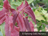 Perennials ~ Epimedium wushanense 'Caramel', Barrenwort ~ Dancing Oaks Nursery