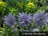 Perennials ~ Eryngium alpinum, Sea Holly ~ Dancing Oaks Nursery