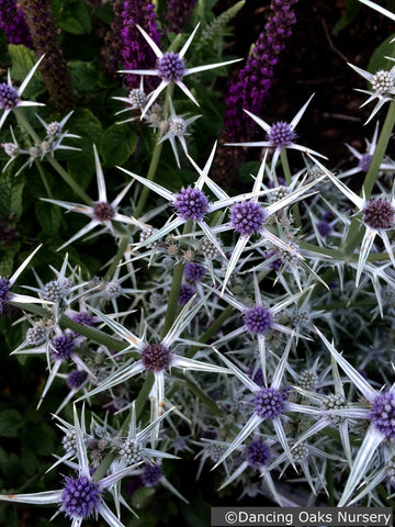 Perennials ~ Eryngium variifolium, Sea Holly ~ Dancing Oaks Nursery and Gardens ~ Retail Nursery ~ Mail Order Nursery