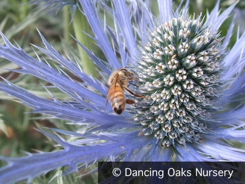 Perennials ~ Eryngium x zabelii, Sea Holly ~ Dancing Oaks Nursery and Gardens ~ Retail Nursery ~ Mail Order Nursery