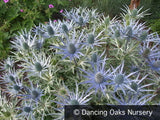 Perennials ~ Eryngium x zabelii, Sea Holly ~ Dancing Oaks Nursery