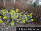 Perennials ~ Euphorbia rigida, Spurge ~ Dancing Oaks Nursery and Gardens ~ Retail Nursery ~ Mail Order Nursery