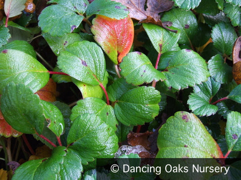Perennials ~ Fragaria chiloensis 'Green Pastures', Green Pastures Strawberry ~ Dancing Oaks Nursery