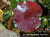 Perennials ~ Galax urceolata, Wand Flower ~ Dancing Oaks Nursery and Gardens ~ Retail Nursery ~ Mail Order Nursery