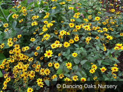 Perennials ~ Heliopsis 'Prairie Sunset' PPAF ~ Dancing Oaks Nursery and Gardens ~ Retail Nursery ~ Mail Order Nursery