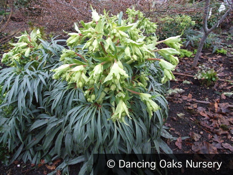 Perennials ~ Helleborus foetidus, Bear's Foot Hellebore, Lenten Rose ~ Dancing Oaks Nursery and Gardens ~ Retail Nursery ~ Mail Order Nursery