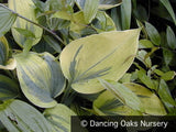 Perennials - Hosta 'Liberty' PP12531
