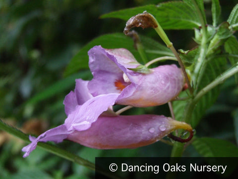 Perennials ~ Impatiens arguta 'Blue Dream', Hardy Impatiens ~ Dancing Oaks Nursery and Gardens ~ Retail Nursery ~ Mail Order Nursery
