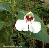 Perennials ~ Impatiens tinctoria, Hardy Impatiens ~ Dancing Oaks Nursery and Gardens ~ Retail Nursery ~ Mail Order Nursery