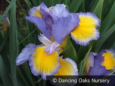 Perennials ~ Iris spuria 'Missouri River', Spuria Iris ~ Dancing Oaks Nursery and Gardens ~ Retail Nursery ~ Mail Order Nursery